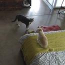 miniature pour Un chat fait taire un chien qui aboie