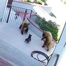 miniature pour Un bouledogue fait peur à 2 ours