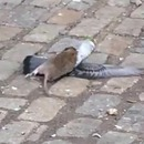 rat-vs-pigeon
