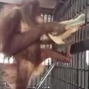 miniature pour Un orang-outan se fabrique un hamac