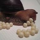 escargot-oeufs