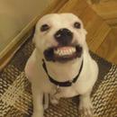 miniature pour Un chien qui sourit pour la photo