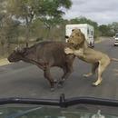lions-attaque-buffle-touristes