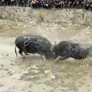 miniature pour Deux buffles se cassent le crâne dans un combat à paris