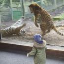 miniature pour Réveil en bagarre pour ce tigre