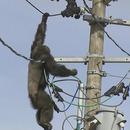 miniature pour Un chimpanzé en fuite sur des lignes électriques