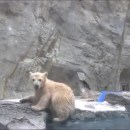 miniature pour Un ours polaire sauve son bébé tombé dans l'eau