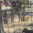 miniature pour Une femme saute la barrière du tigre
