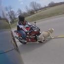 miniature pour Un motard renversé à cause d'un chien