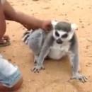 miniature pour Un lémurien qui aime qu'on lui gratte le dos