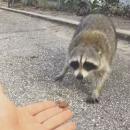 miniature pour Un raton-laveur mord la main qui le nourrit