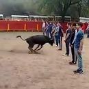 miniature pour Un taureau n'attaque pas les personnes immobiles