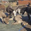 miniature pour Des ânes pleurent la mort de l'un des leurs