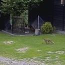 chien-sauve-poules-renard