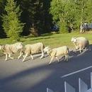 troupeau-moutons-trompe-chemin