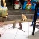 chat-bagarre-2-gros-rats