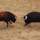 miniature pour Deux taureaux se tuent en se cognant