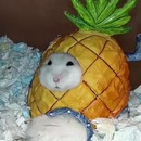 hamster-coince-maison-ananas