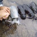 miniature pour Le calamar perd sa couleur quand il est mort