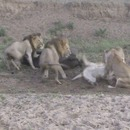 miniature pour Des lions se disputent pendant la bouffe d'un buffle