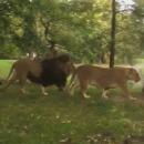 ah-nature-lions