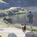 miniature pour Un Wapiti court derrière un joggeur et son chien