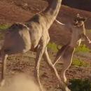 miniature pour Une lionne s'attaque à une girafe
