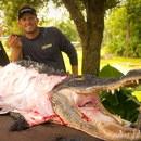 miniature pour Dépeçage d'un gros alligator (Choquant)