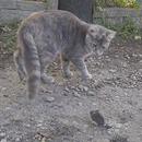 chat-voler-souris
