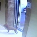 miniature pour Un chien étranglé par un ascenseur