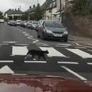 miniature pour Un chat qui sait utiliser le passage piéton