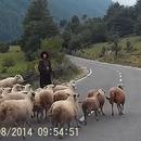 miniature pour Attaques brutales d'un mouton contre la Bergère