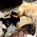 chien-sauve-pote-emporte-eaux