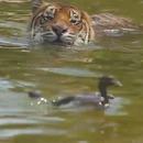 canard-tigre