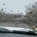 miniature pour Une fille en voiture écrase des oiseaux sur la route