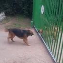miniature pour Des chiens s'aboient dessus à travers un portail