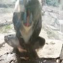 miniature pour Un mandrill se masturbe devant 2 filles au zoo