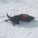 miniature pour Un chien d'avalanche glisse sur la neige