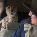miniature pour Un guépard sauvage rentre dans une voiture pendant un Safari
