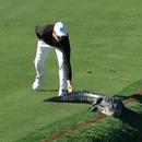golfeur-frappe-alligator