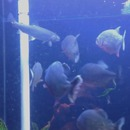piranhas-manger-poisson-aquarium