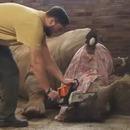 miniature pour Un zoo de Prague coupe les cornes de ses 21 Rhinocéros