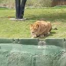 lionne-saute-fosse-safari-mexique