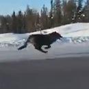 miniature pour Des loups qui courent sur l'autoroute au Canada