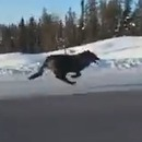 loups-courir-autoroute-canada