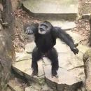 chimpanze-jette-caca-visage-mamie