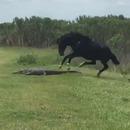 miniature pour Un cheval piétine un alligator