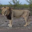 miniature pour Un lion qui n'aime pas être filmé
