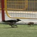 rat-corbeau-manger