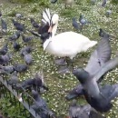 cygne-bouffe-tete-pigeons